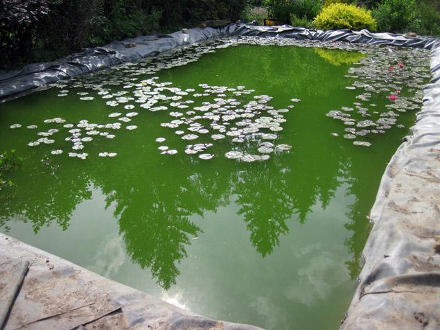 Почему зеленеет вода в пруду